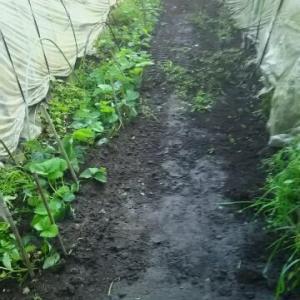ビニールハウスの間が白苺畑 ユンボで削り除草 ギリギリ
