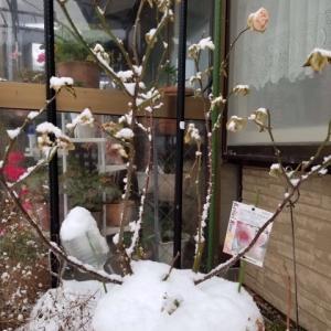 真冬に咲いたバラと新雪の中のアリー