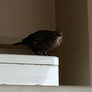 時々来る鳥