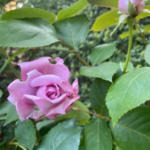 薔薇が咲いた&オンラインでの伝え方