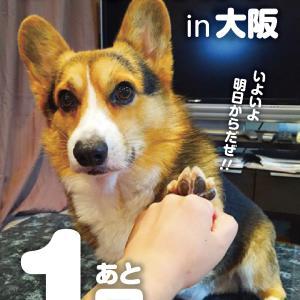 いよいよ明日はコーギーストア実店舗in大阪!