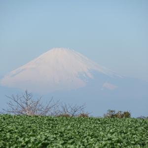 「綺麗な富士山見えた!」 大きなブロッコリー!