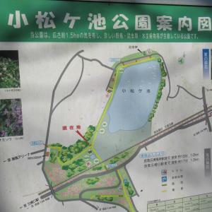 ①三浦の小松ヶ池の河津桜!