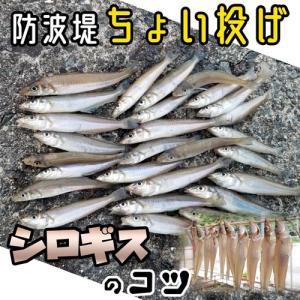 【シロギス】防波堤でちょい投げ入門:釣果アップの秘訣と、釣った後は一夜干し。外道も楽しみ。