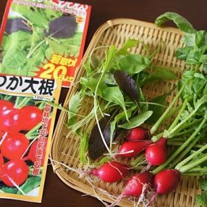 ベランダ栽培のミニ野菜