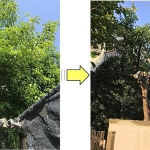 伸びすぎた庭木の枝おろし作業