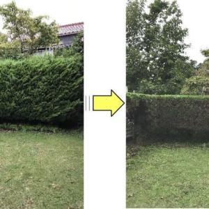 お隣との境界側に植えてあるイブキの垣根の剪定作業