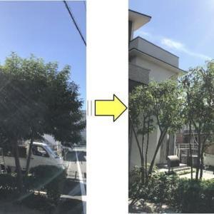 シマトネリコの枝が伸びお困りの方が増えている