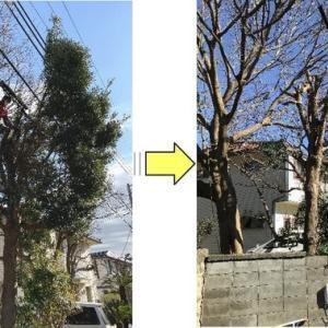 育ちすぎ電線を巻き込み近隣敷地や道路にはみ出してしまったマキの伐採作業ご依頼