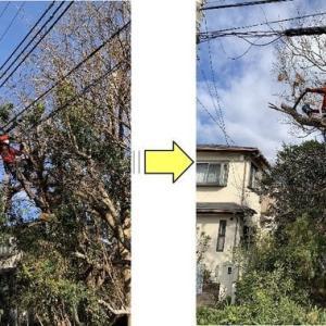 剪定をされていなく伸び放題となり電線に絡んでしまった個人邸松の伐採作業