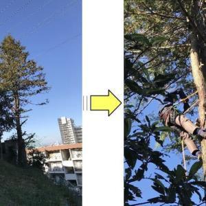 約20メートルと大きくなりすぎ台風で倒木の恐れが出てきた総重量約1800キロの杉の木特殊伐採作業