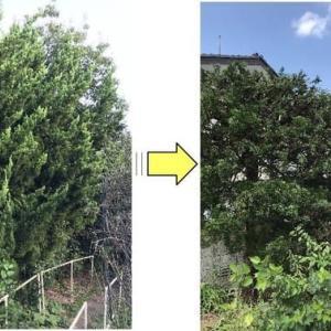 長年手入れされることなく枝が伸び放題となっているイブキの剪定作業