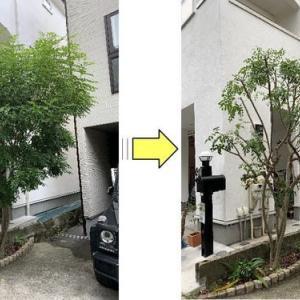 1年で伸びたシマトネリコの枝を剪定