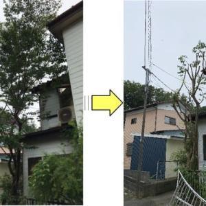 大きく育ち敷地外にはみ出た枝と高さを低く枝おろししたケヤキ
