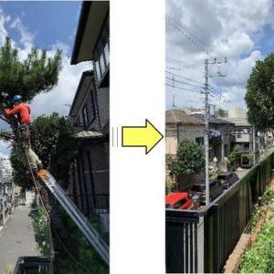 斜めになってしまいフェンスを壊してしまいそうな状態の松伐採