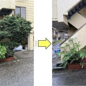 マンション敷地内のツゲの木伐採とイワナンテン剪定