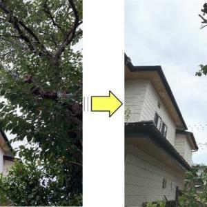 お隣の敷地に大きくはみ出し伸びてしまった桜の木の枝おろし作業