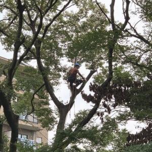 一度も手入れをされることなくすくすく育った植木の枝おろし作業