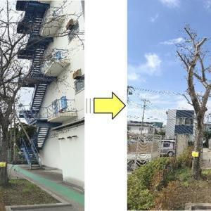 世代交代が近づいている桜の木の枝おろし作業