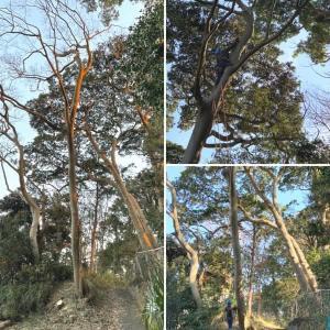 約30メートルの高木はロープワークで特殊伐採