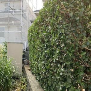 境界側垣根の刈り込み作業