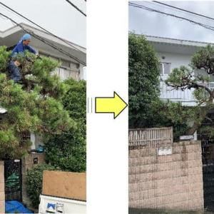 何年もの間手入れされることなくモコモコになってしまっている松の木の剪定作業