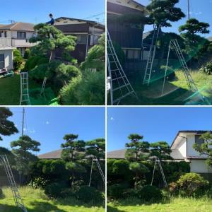 松の木剪定作業