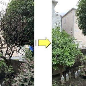お庭に植えられているミカン/柑橘系の木が枯れてしまったと伐採ご依頼