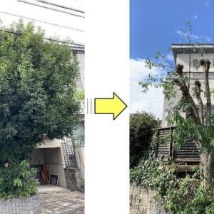 元気よく育ち過ぎたシラカシの木枝おろし作業