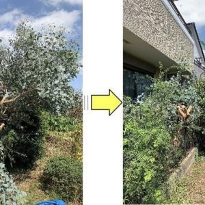 お隣の敷地に枝が大きくはみ出してしまっているユーカリポポラス枝おろし