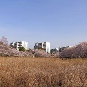 満開の桜散歩