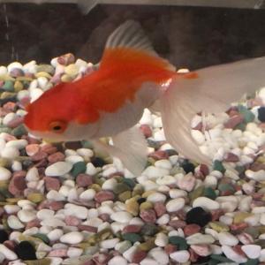 金魚 Again