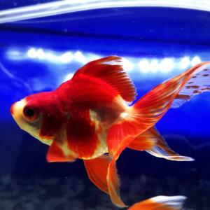 金魚ランド幸田さんからもう1匹