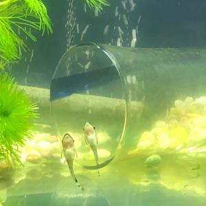 グリーンウォーター 青水飼育