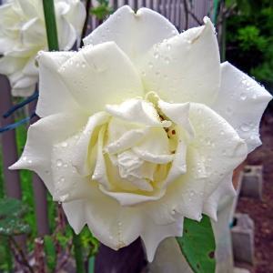 雨の日の バラ ♪