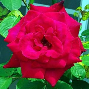 今日の バラ ♪