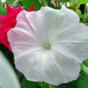 今日の朝顔とバラ ♪