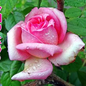 今朝のバラと 狂い咲きのアジサイ