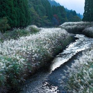 ススキ揺れる川