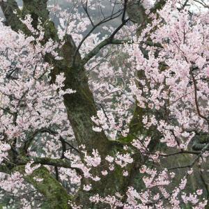 桜、後半戦!