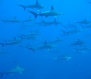 神子元:青い海にハンマー群れ群れ!