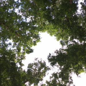 メタセコイアの林でごろんとしてみた