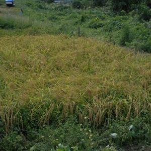 今年のお米の収穫量は、なんと・・・!?