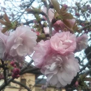 サイータマの桜(きのう)