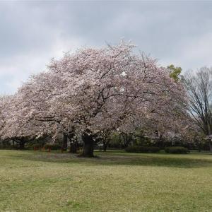 神奈川の桜(お花見散歩)