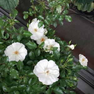 くるみの薔薇ノアシュノー