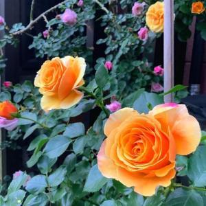 庭のバラ (長野県上田市・花園商店)