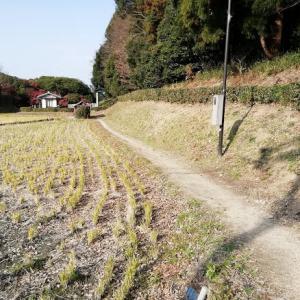 せっかくの畦道歩きに ~ペンペン草のロゼット!~