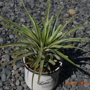 T. fasciculata(ファシクラータ)