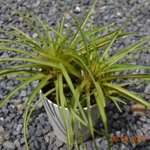 Wallisia cyanea(ウォリシア キアネア)
